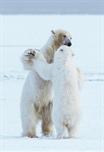 Dansende ijsberen